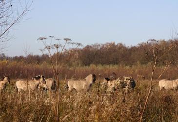 Konikpaarden Stropersbos