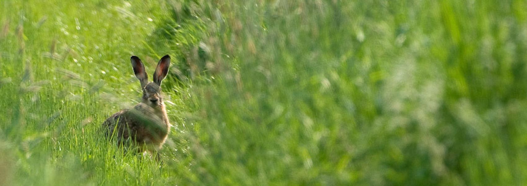 haas tussen het hoge gras