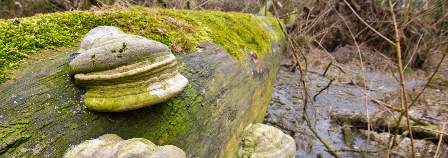 paddenstoelen op boomstam