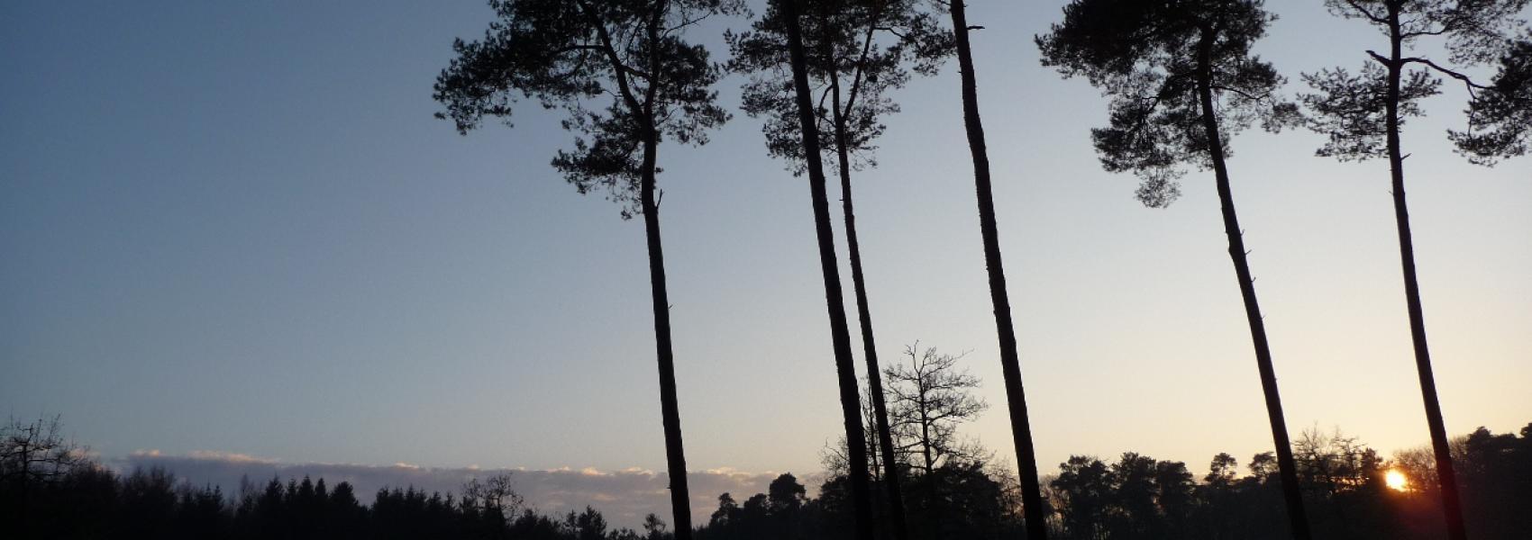 hoge bomen bij ondergaande zon