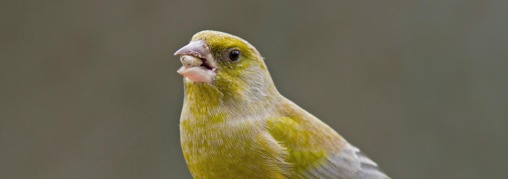 groenling (vogel)