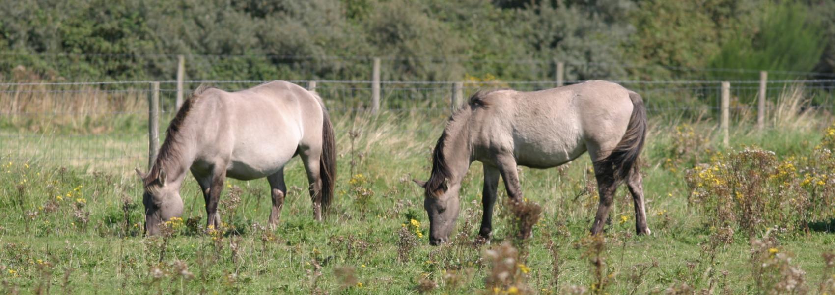 2 grazende konikpaarden