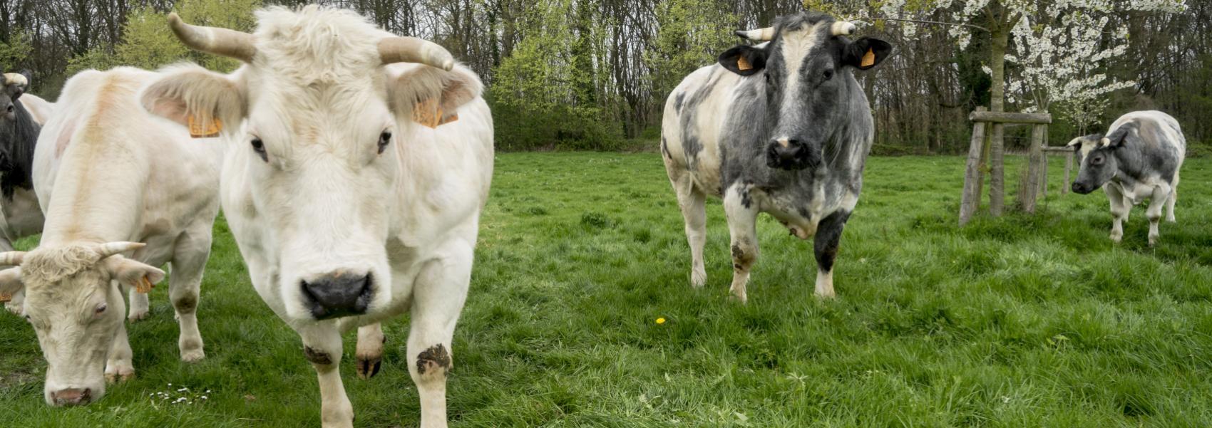 koeien in het landschap