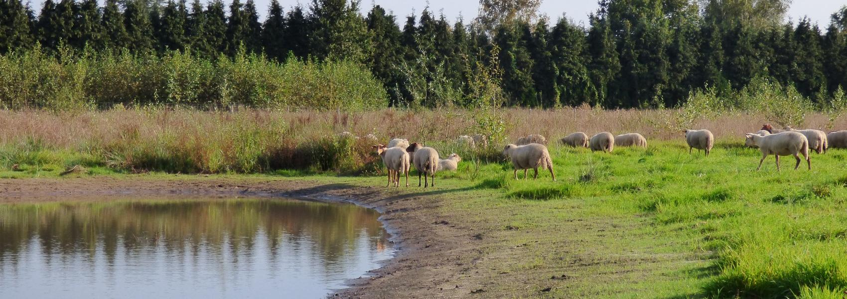 grazende schapen bij de poel