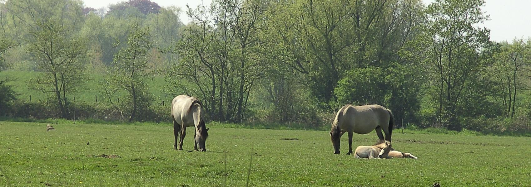 konikpaarden in Robbroek