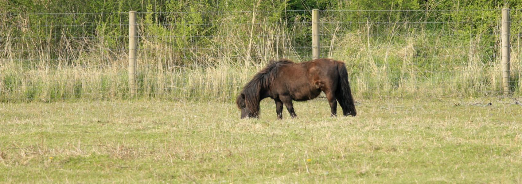 grazende pony