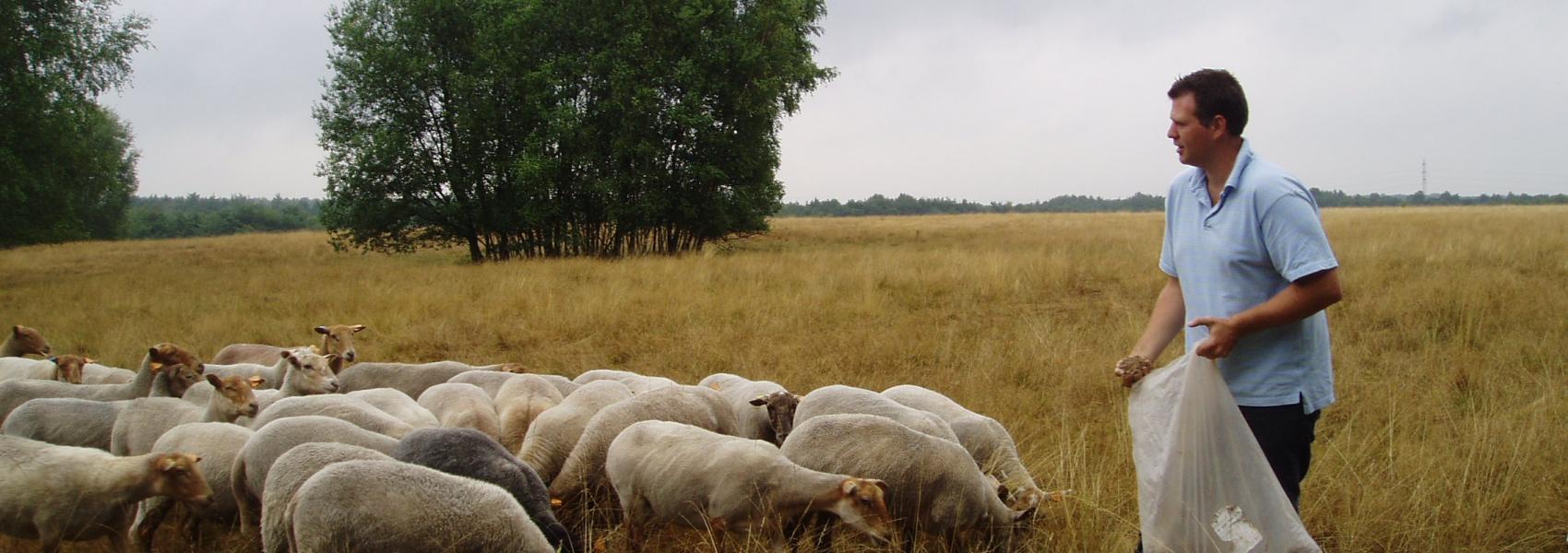 schapen met herder