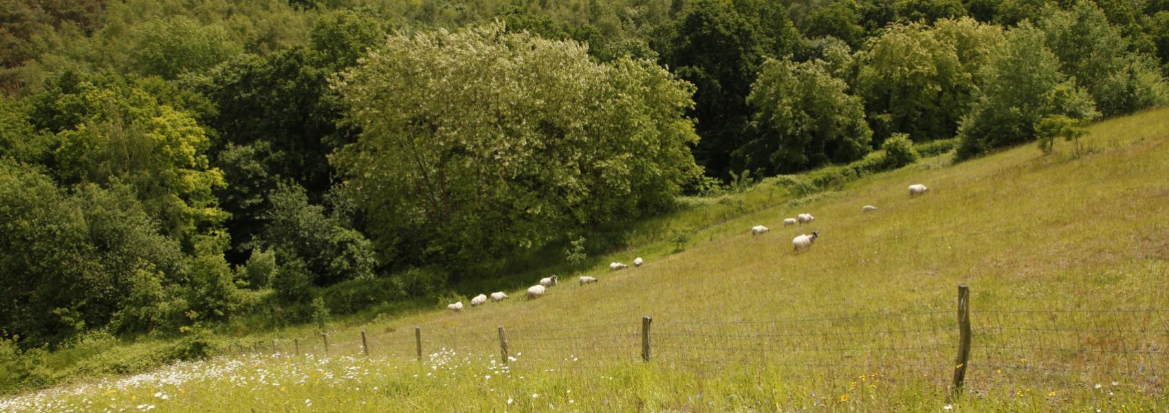 schapen op helling