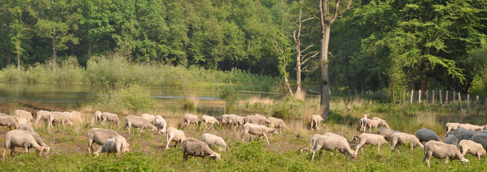 schapenbegrazing in Nieuwe Bossen
