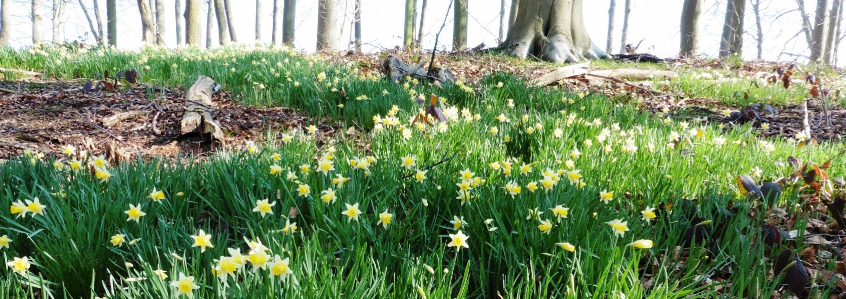wilde narcissen in Steenhoutbos