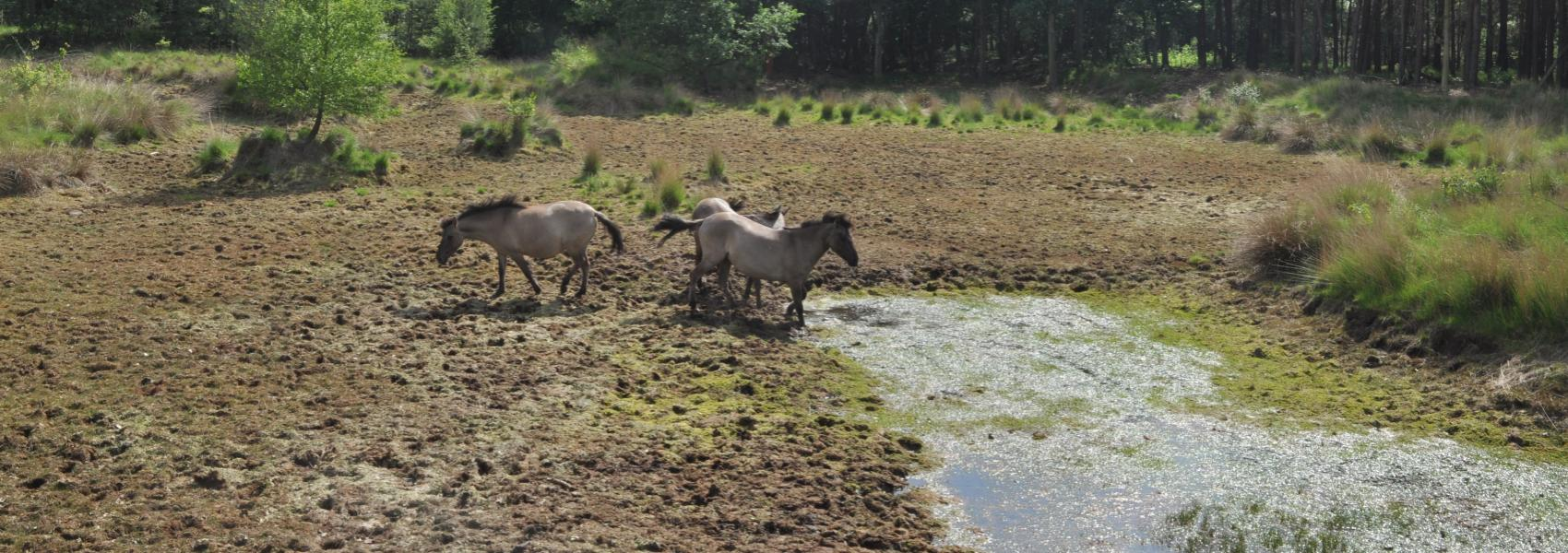 Konikpaarden in de Abtsheide